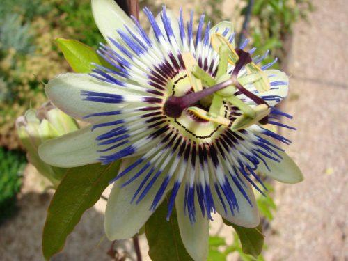 Die Passionsblume – Passiflora incarnata